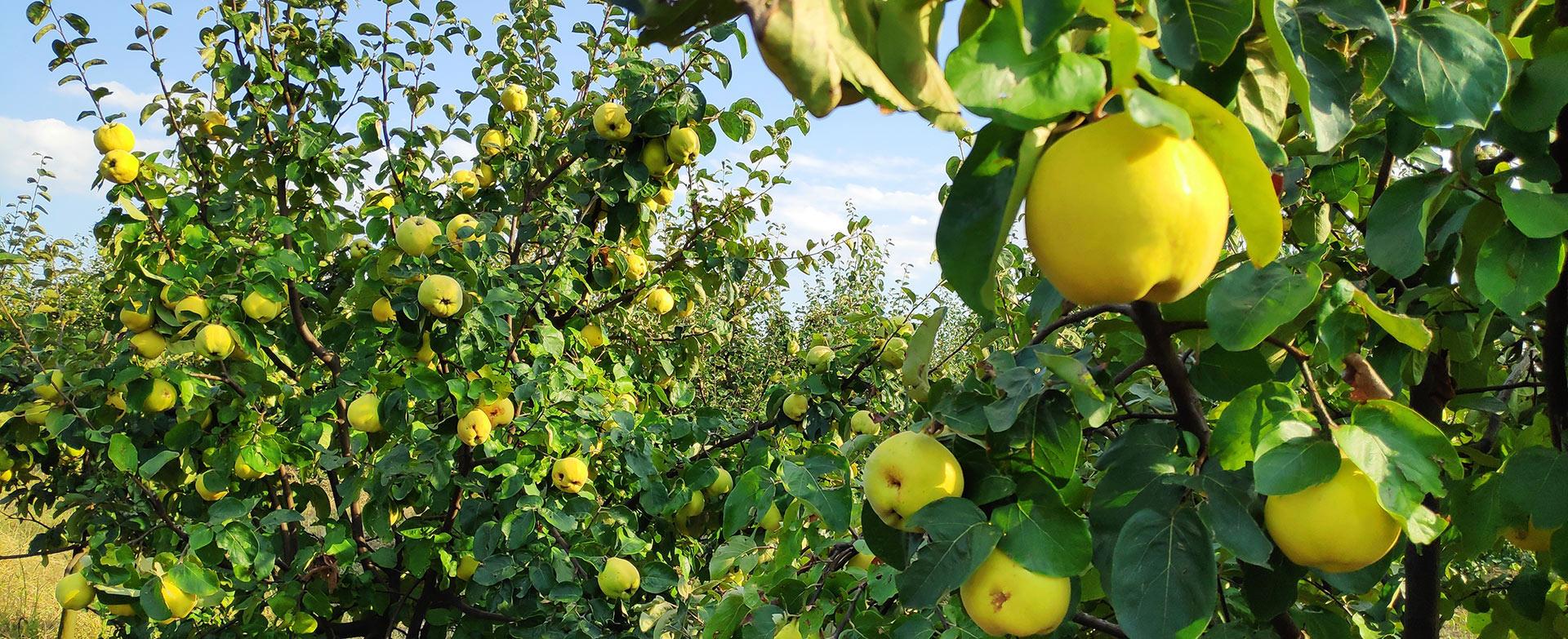 Rasadnik Milojevic - Prodaja voćnih sadnica